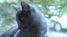 albastra-de-rusia-pisica
