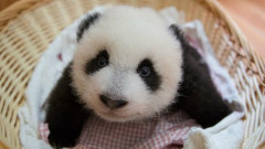 pui de panda