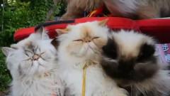 pisici japonia