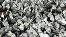fluturi nalbar
