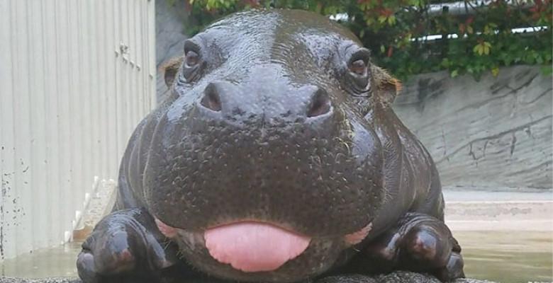 rsz_cute-baby-hippos-146-59087db487972__700