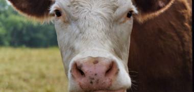Cow_20Face