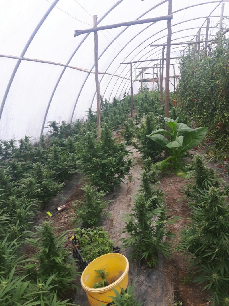 captura cannabis Tinca (18)