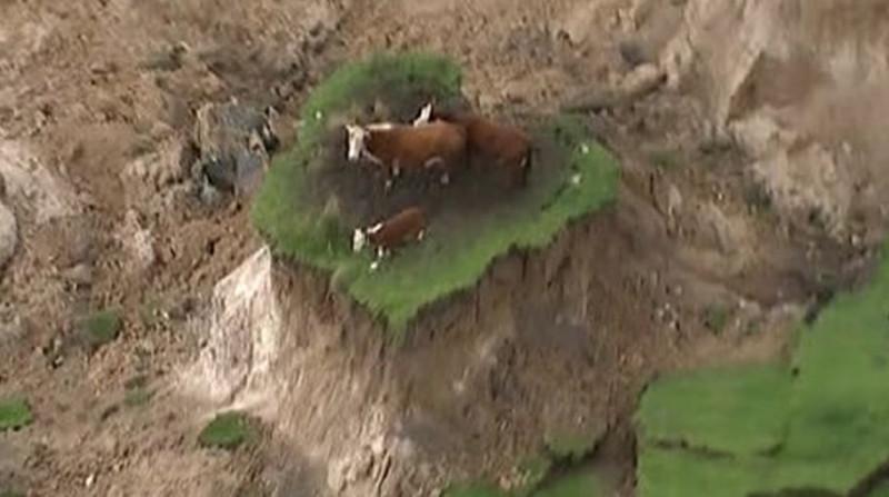 vaci noua zeelanda cutremur