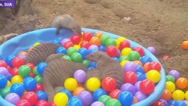 suricate zoo