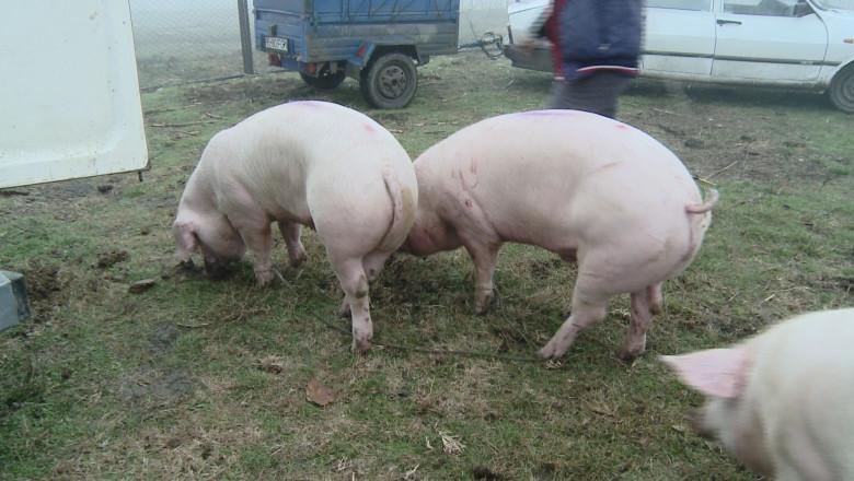 porci de vanzare1