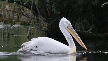 pelicanul cret