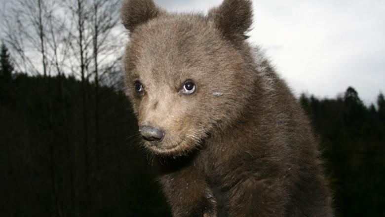 pui urs carnivoremari-1.ro