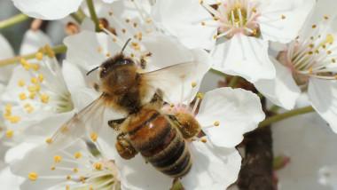 albina pe floare