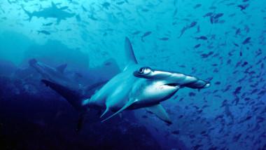 rechin ciocan wikipedia