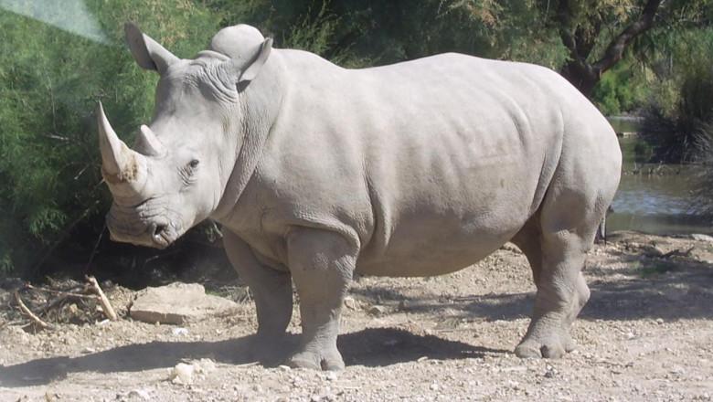 rinocer alb foto wikipedia 31 07 2015