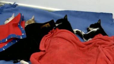 campanie de sterilizare pisici adormite 08 08 2015 captura