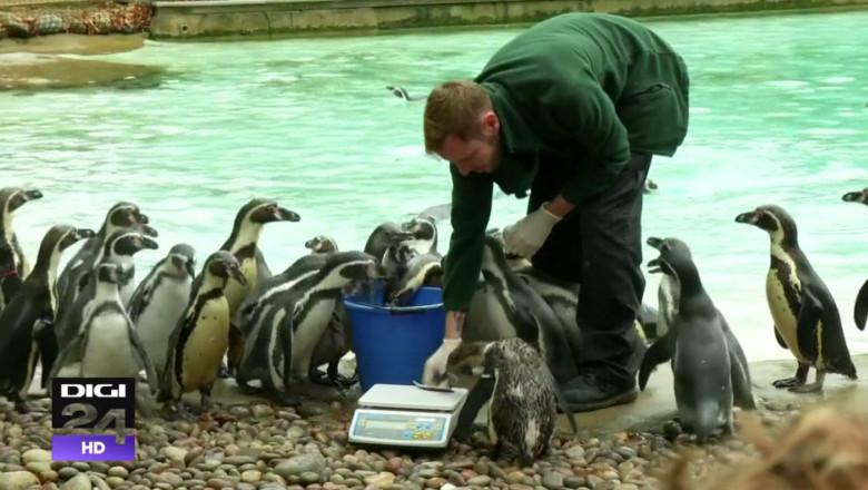 cantar pinguini recensamant zoo diig