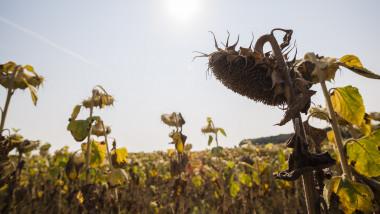 seceta soare cultura floarea soarelui
