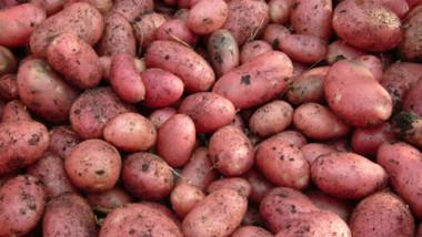 cartofi soiuri noi de cartofi institutul cartofului brasov foto potato ro 17 10 2015