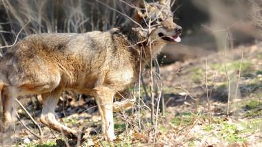 lup lupi pusi in pericol de maidanezi foto wolflife 17 10 2015