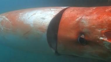 captura calamar uris 1