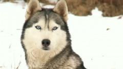 captura husky