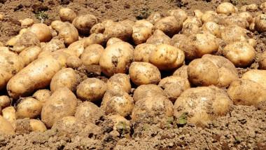 cartofi camp pamant