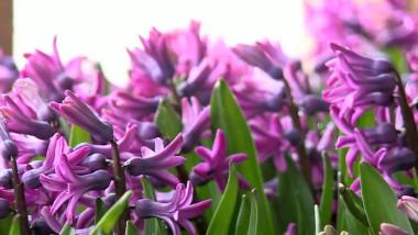 zambile flori primavara