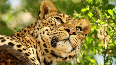 leopard-GettyImages 1