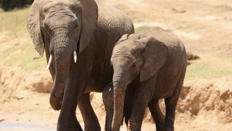 elefanti in africa