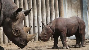 rinocer -getty