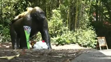 gorila-1