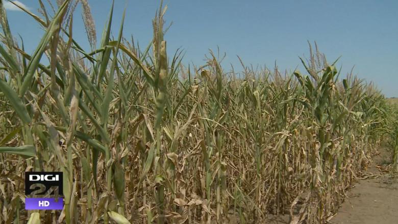 seceta porumb agricultura digi24 august 2015 2