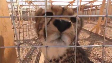 ghepard-captivitate-arabi-bogati