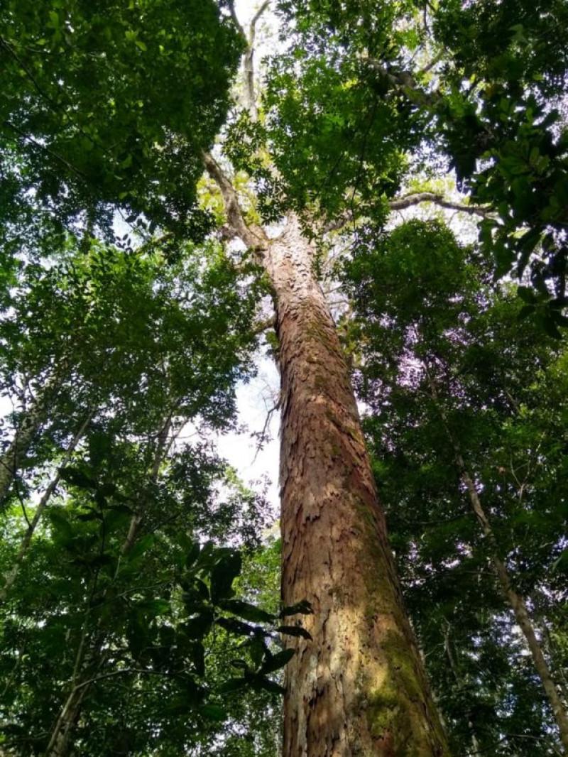 cel mai inalt copac din amazonia