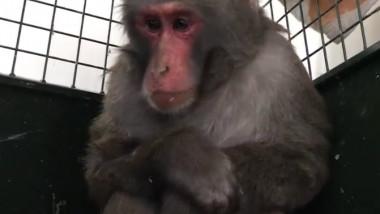 maimuta prinsa