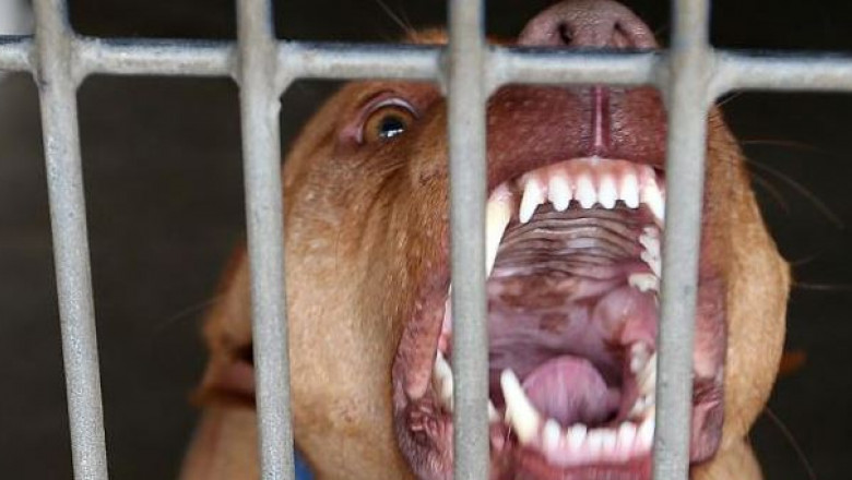pitbull getty