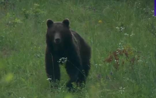 Șeful jandarmilor din Sibiu recunoaște că aceștia au armă de tranchilizat urşi, dar nu au în dotare şi tranchilizantele