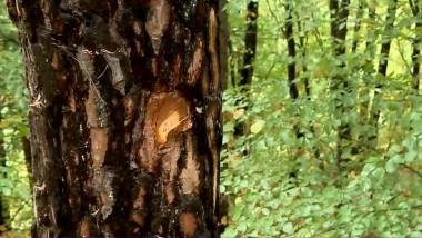 copac padure