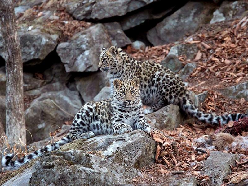 Find a leopard