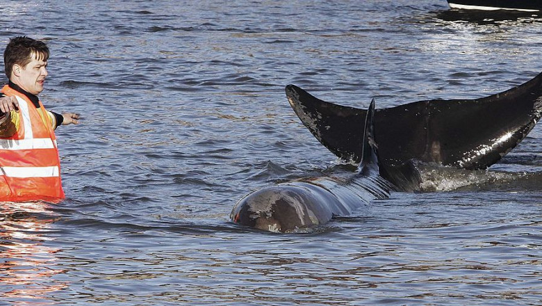 Whale Spotted In River Thames