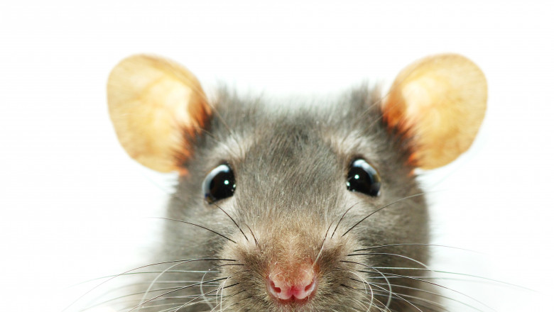 A close-up shot of a mouse on a white background