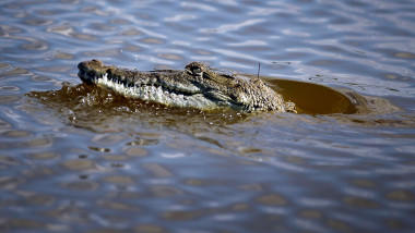 Endangered Florida Crocodile Makes Comeback