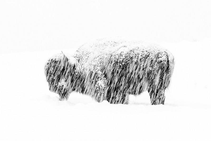 foto animale bizon in ninosoare_max-waugh