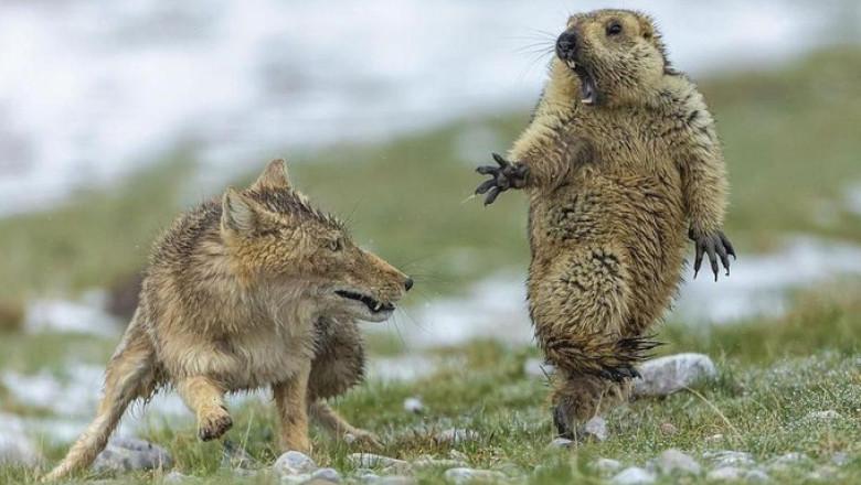 vulpea si marmota