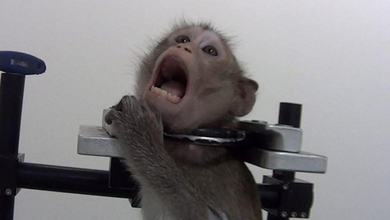maimutică