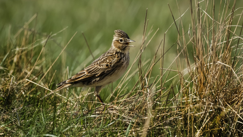 Skylark, Alauda arvensis, standing on the grass tweeting