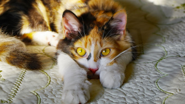 Watchful Calico Cat Resting