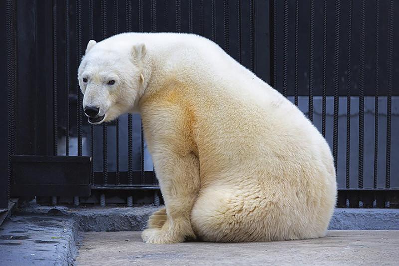 Polar bear in new aviary