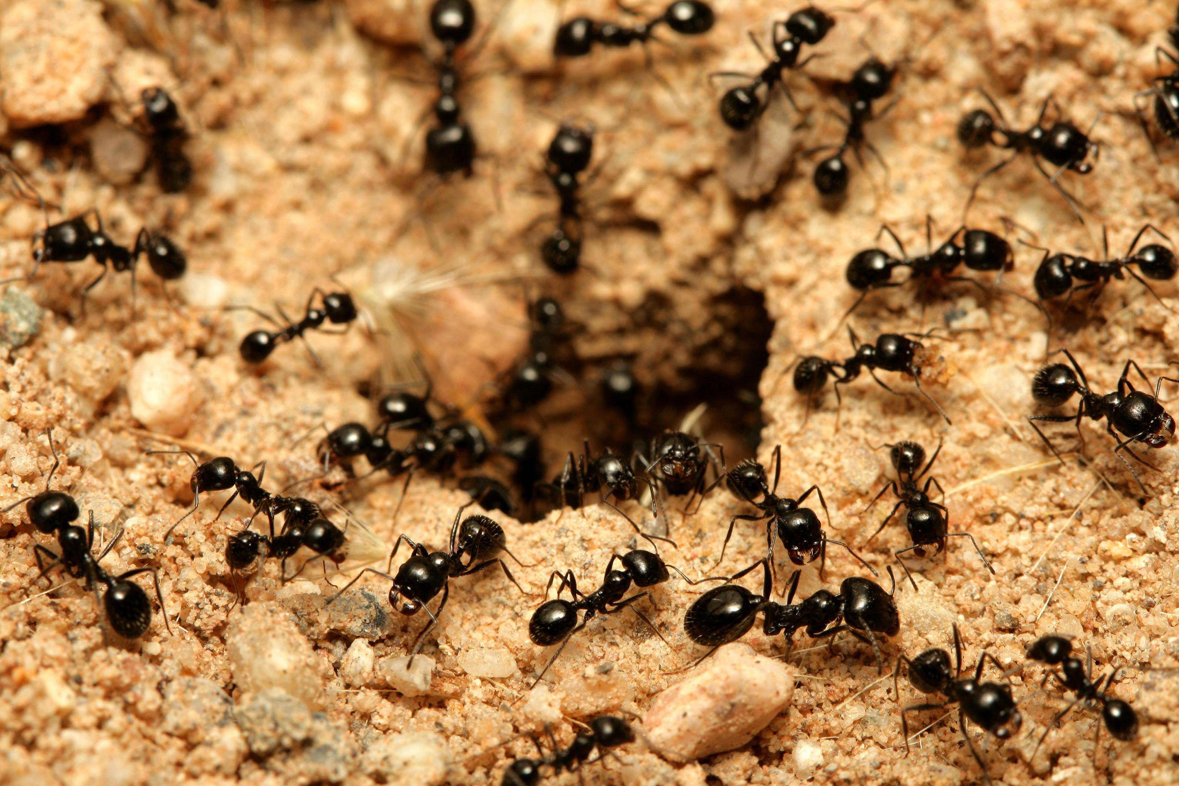 O colonie de furnici canibale a fost descoperita intr-un buncar nuclear polonez