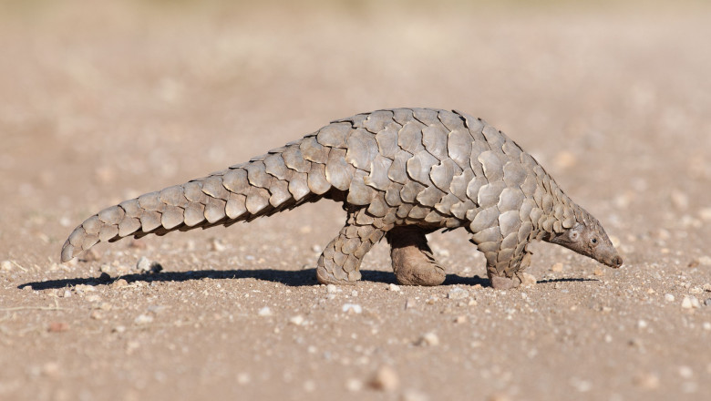 Pangolin hunting for ants.