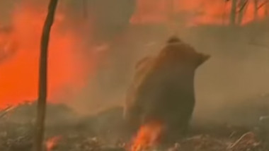 koala incendiu