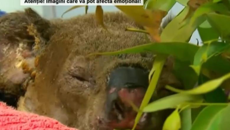 koala lewis