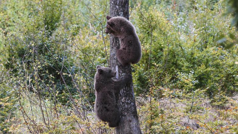 Brown bear cubs climbs a tree in Transylvania